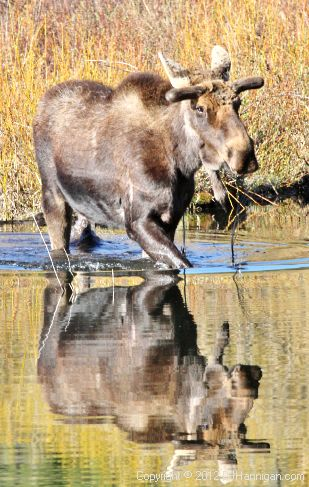 Male moose wading through water