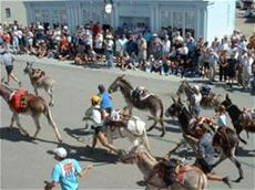 People leading donkeys through street in Burro Race