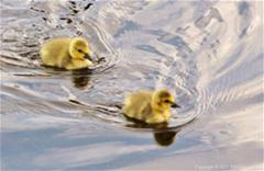 2 goslings in water