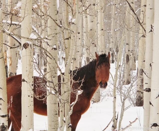 Horse and aspens, Fairplay, 0111B.jpg